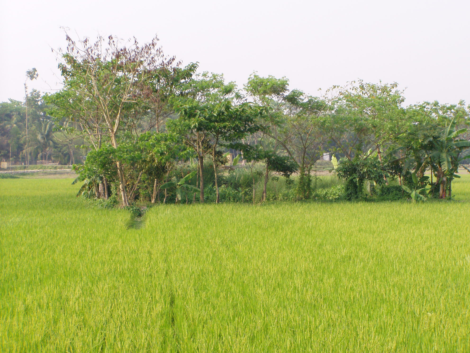 Bangladesh : Green paddy field