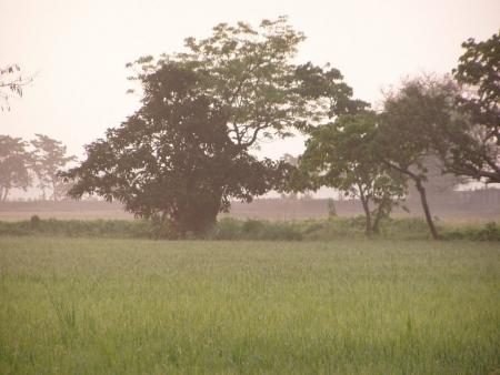 Bangladesh : paddy field